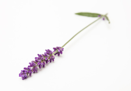 lavender isolated on white background Stock Photo