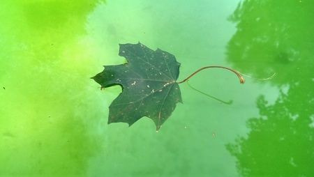 maple leaf on green water