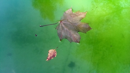 maple and birch leaf on green water
