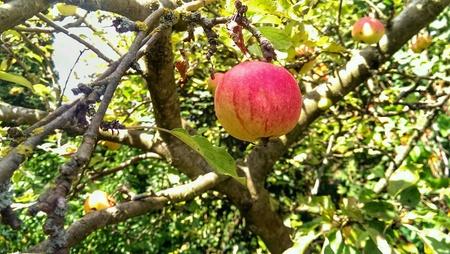Sweet ripe apple in the tree Stock Photo