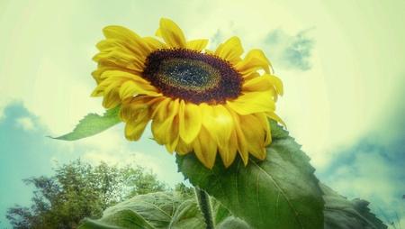Sunflower in garden