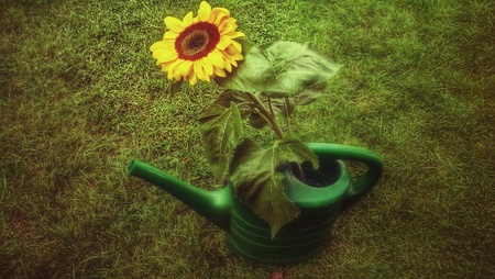 Sunflower in watering can