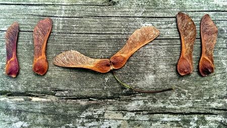 Maple seeds on wood Stock Photo