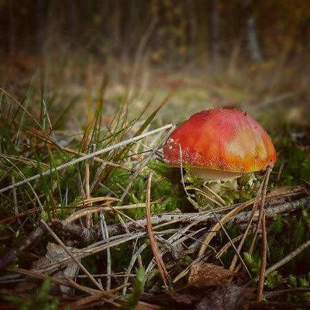 Little fly agaric in forest Stock Photo