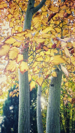 maple trees: Maple trees with autumn leaves