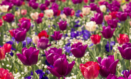 beautiful bouquet of colorful tulips