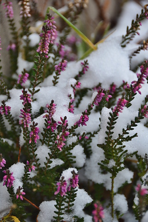 heather: heather flowers with snow Stock Photo