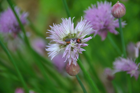 chives: chives Stock Photo