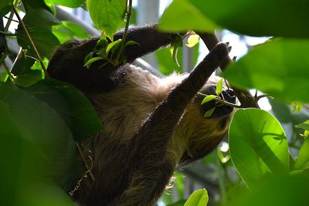 oso perezoso: perezoso Foto de archivo