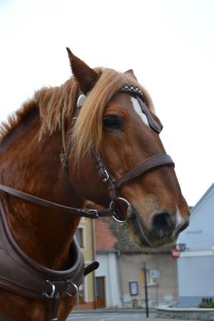 manes: Horse Stock Photo