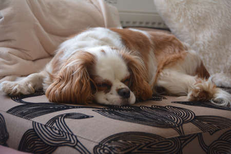 The cavalier king charles spaniel resting Stock Photo