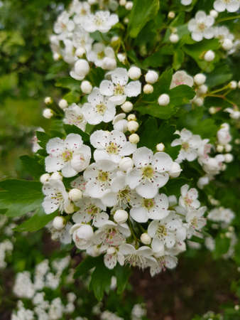 the branch with hawthorn flowers Stock Photo