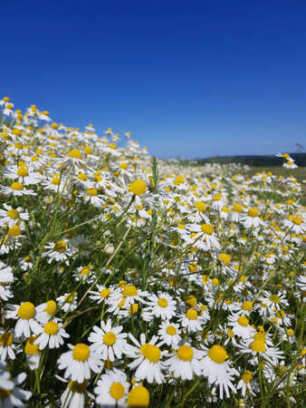 the chamomile flowers with a sky without clouds Stock Photo