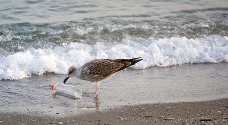 female seagull touching a plastic bottle on the seashore, closer shot