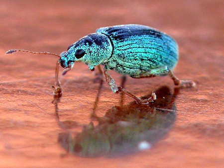 weevil: Green weevil Stock Photo