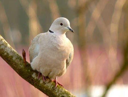 Collard dove sitting in a tree Stock Photo - 8696392