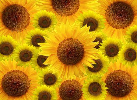 Yellow sunflower flowers,background Stock Photo - 4585754