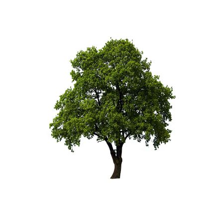 solitary tree: Single Oak tree with green leaves isolated on white background Stock Photo