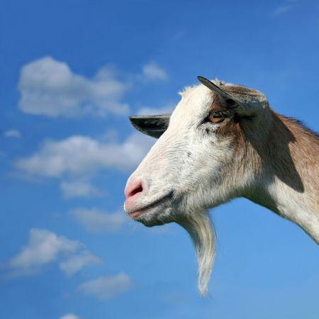 nanny: Nanny Goat Stock Photo