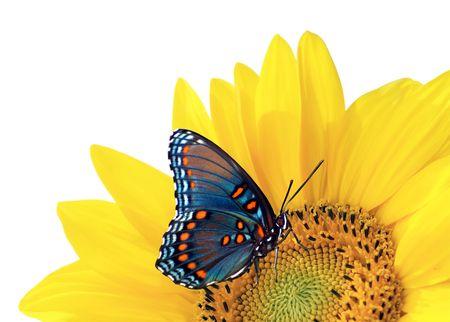 ヒマワリ、青い蝶 写真素材