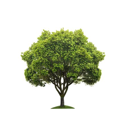 solitary tree: Green tree isolated on white