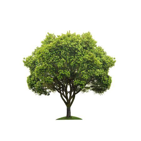 arboles frondosos: �rbol verde aislado en blanco Foto de archivo