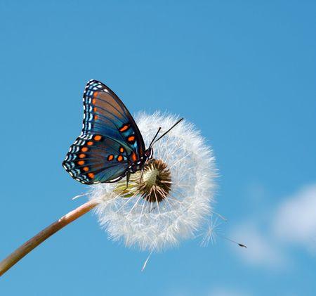 mariposa azul: Mariposa en un diente de Le�n Foto de archivo