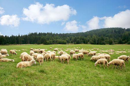 Rebaño de ovejas en un hermoso Prado verde  Foto de archivo
