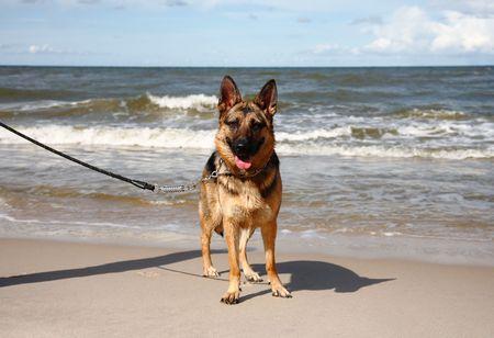 German sheepdog on a beach photo