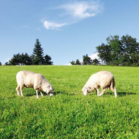 Two grazing sheep in fresh green meadow  photo