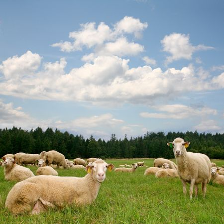 herd sheep Stock Photo - 8001692