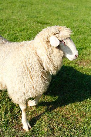sheep on green grass Stock Photo - 8001696