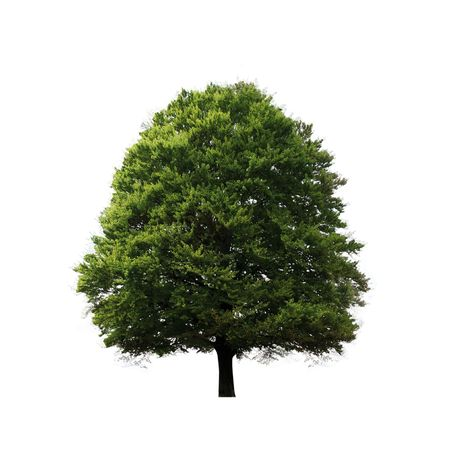 Green oak tree isolated on white Stock Photo