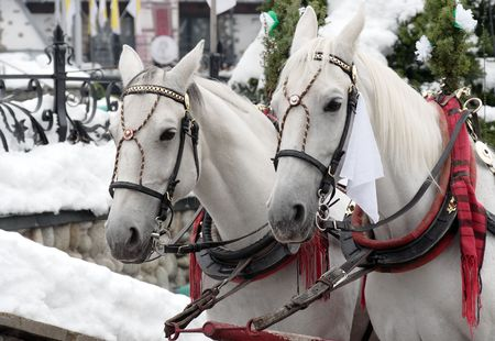 hackney carriage: Two white horse  Stock Photo