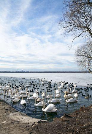 Swan lake Stock Photo - 8162367