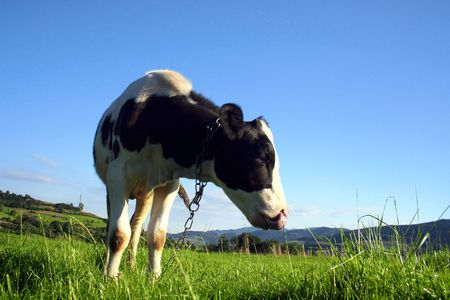 Black and white cow on green meadow Stock Photo - 8255581
