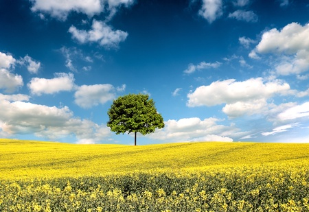 Rape se lone tree landscapeed field and Stock Photo - 8255595