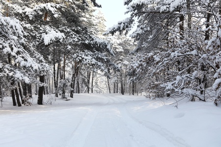 Cold and snowy winter forest photo