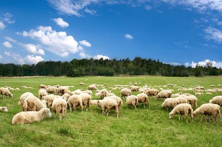 Mucho de ovejas en la hermosa pradera verde Foto de archivo