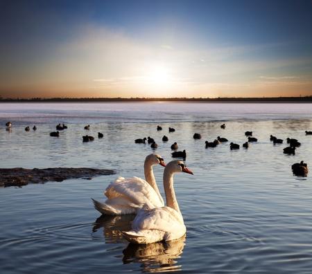 Pair of swans on lake at sunset photo