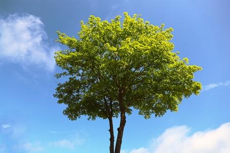 Maple tree on blue sky background Stock Photo - 9945666