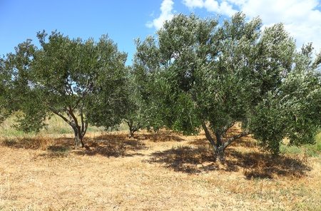 israel agriculture: Olive tree Stock Photo