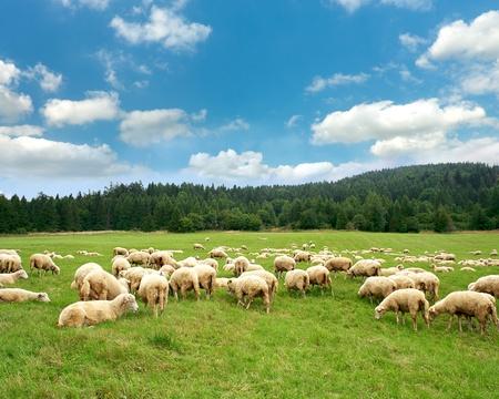 praterie: Gregge di pecore