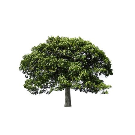 전체 잎 오크 나무 스톡 콘텐츠