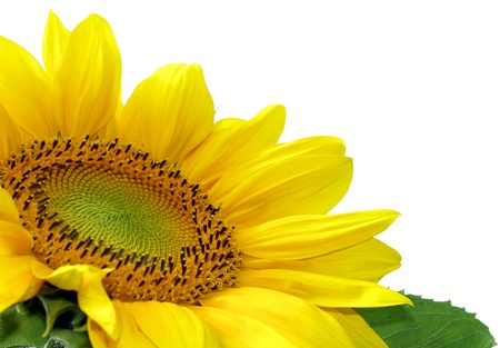 Beautiful sunflower over white Stock Photo