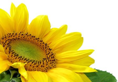 Beautiful sunflower over white Stock Photo