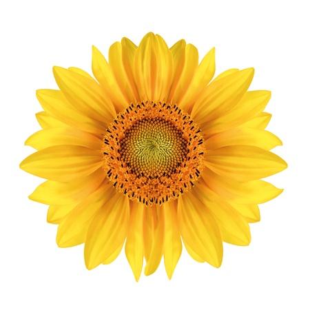 Slunečnice close-up přes bílé