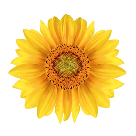 single object: Sunflower close-up over white Stock Photo