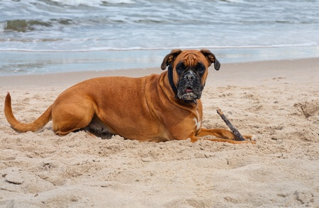 dog on the beach Stock Photo - 12436418