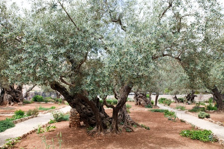 Garden of Gethsemane.Thousand-year olive trees, Jerusalem photo